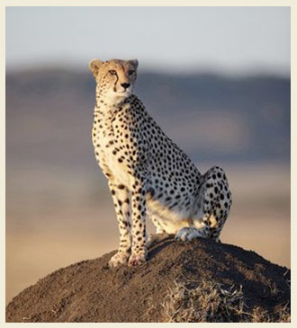 cheetah on a hill