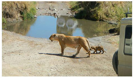 lioness walking with cub