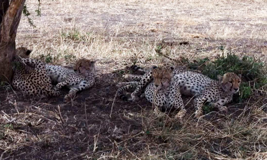 Cheetahs on Serengeti