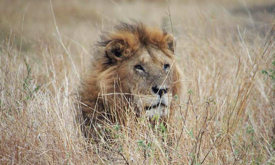 Lion on Serengeti