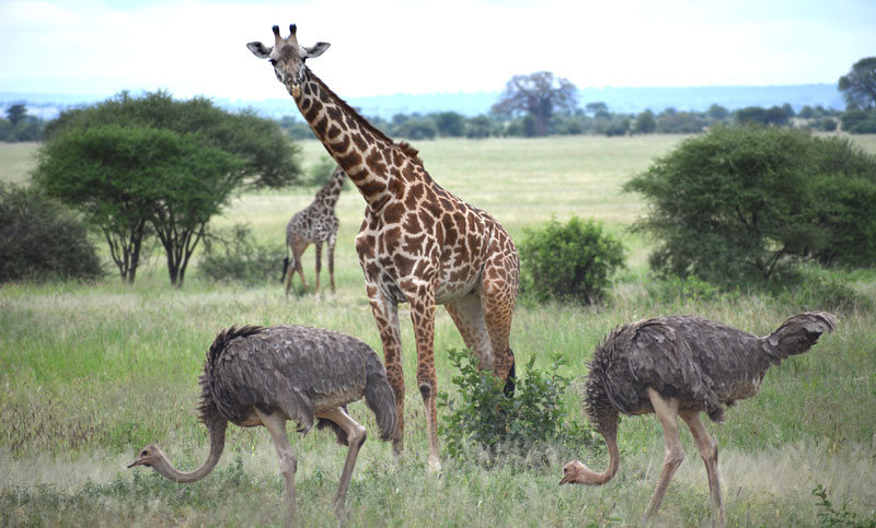 giraffe and ostriches in Tanzania