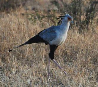 serengeti bird